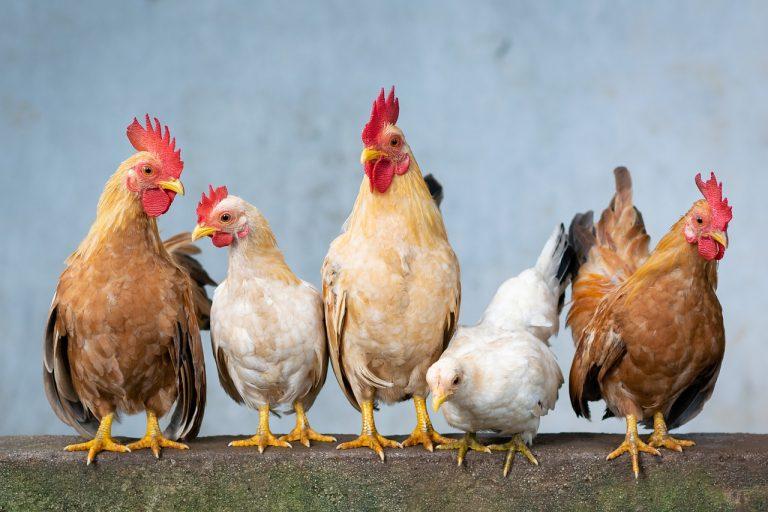 W jaki sposób wzmacniasz swoje kury?